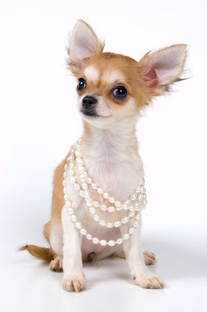 The puppy chihuahua in studio on a neutral background