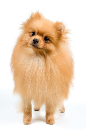 Spitz-dog in studio on a neutral background Banque d'images