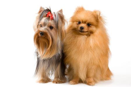 Spitz and terrier in studio