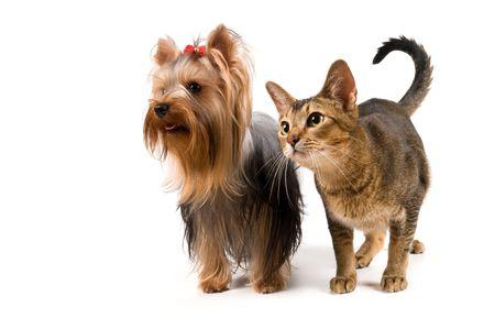 El terrier y gatos en el estudio