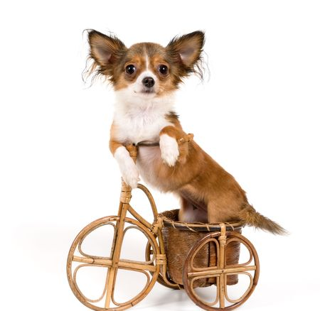 The puppy chihuahua on a bicycle in studio Banque d'images