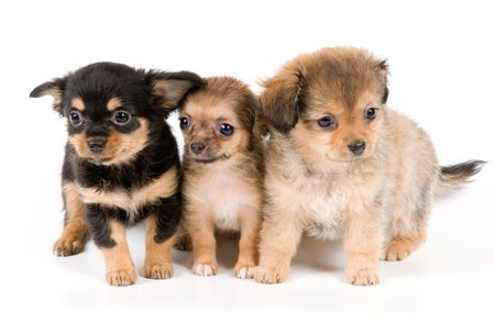Puppies chihuahua in studio Banque d'images