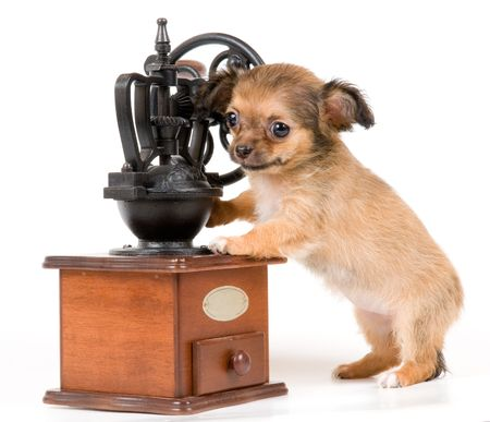The puppy chihuahua in studio
