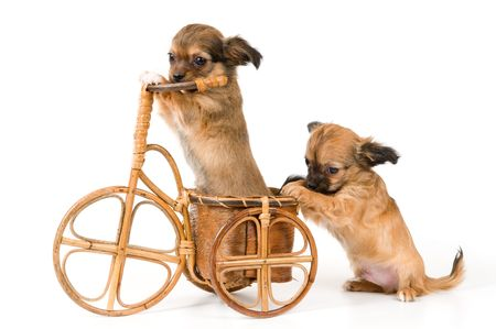 The puppies chihuahua on a bicycle in studio Banque d'images