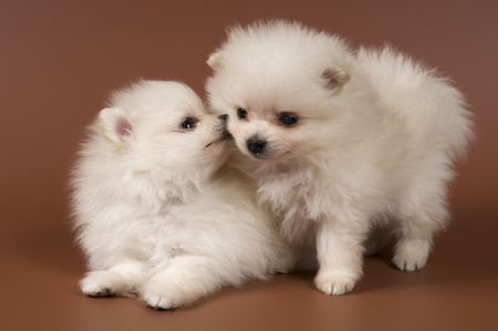Two puppies of the spitz-dog in studio on a neutral background