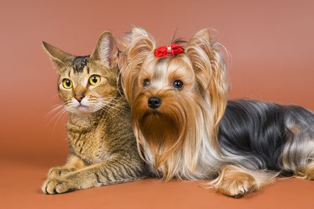 The terrier and cat in studio Banque d'images