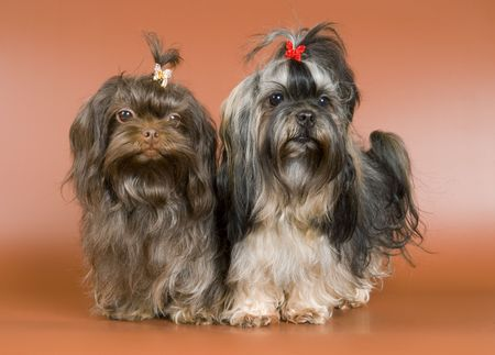 Two lap-dogs  in studio on a neutral background