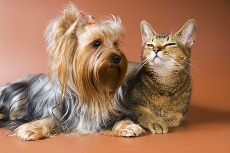 Dog of breed Yorkshire terrier and cat Banque d'images