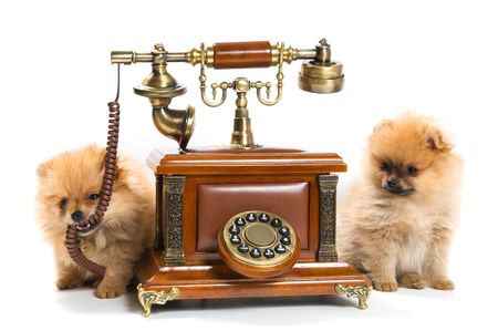 Puppies of a spitz-dog with phone