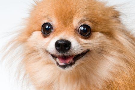 Spitz-dog in studio  Banque d'images