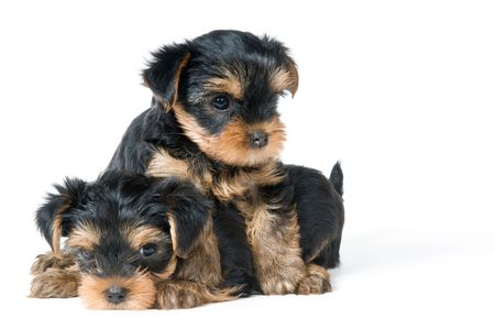 Puppies of the terrier