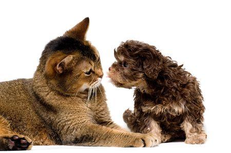 Cat and lapdog in studio