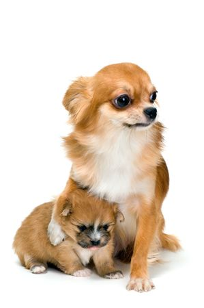 Dog of breed chihuahua and its puppy Banque d'images