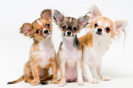 Three dogs of breed chihuahua on a neutral background