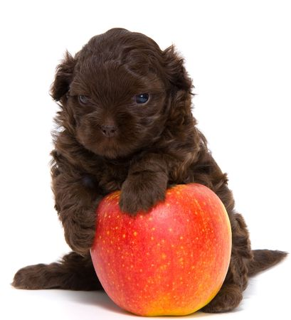 Puppy with an apple in studio