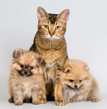 Cat and the puppy of the spitz-dogs