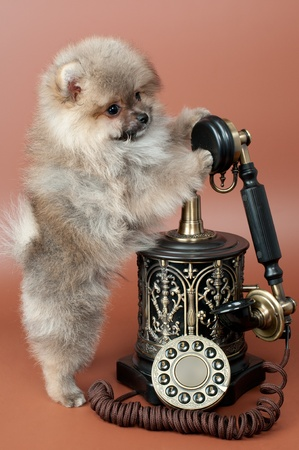 Puppy of a spitz-dog with phone