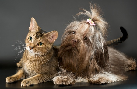 Cat and bolonka zwetna in studio Banque d'images