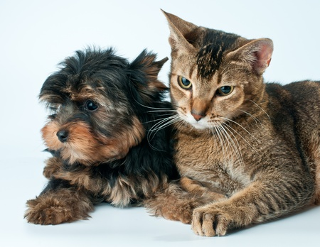 Puppy and cat in studio Banque d'images