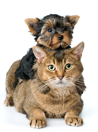 Cat and puppy  in studio Stock Photo - 9784381