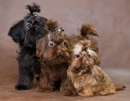 Puppies of a Tsvetnaya dolonka in studio on a neutral background Banque d'images