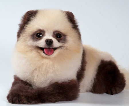 The spitz-dog painted under a panda in studio