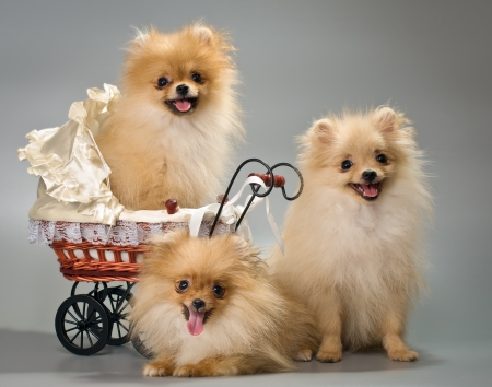 Three puppies with a sidecar in studio Banque d'images
