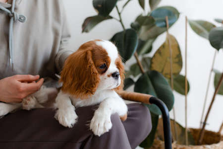 Human sitting with Cavalier King Charles Spaniel puppy.