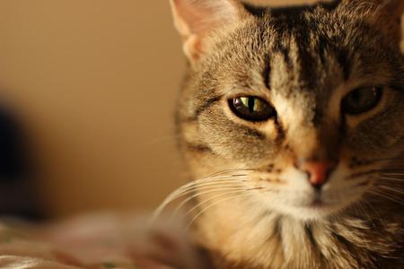 彼の目の 1 つに焦点を当てると猫のクローズ アップの肖像画