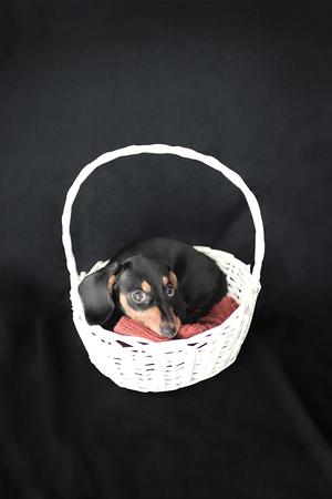 黒い背景に白いウィッカーバスケットの子犬ダックスフント 写真素材
