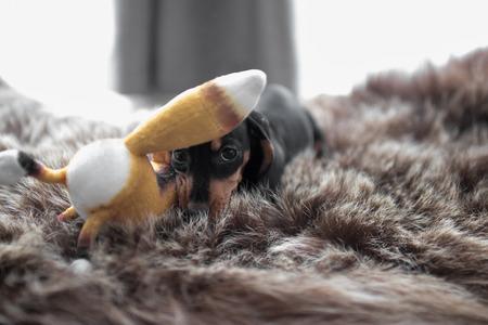 おもちゃのキツネで遊ぶクマの皮の敷物の子犬ダックスフント