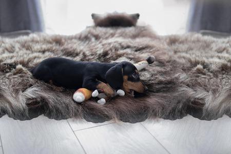 ふわふわのクマの肌の敷物の子犬ダックスフントは、おもちゃのキツネと横たわって、窓の背景に彼女を噛みます
