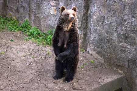 Bear in Wroclaw Zoo, Poland; the bear stands on two hind legs and holds the front ones in front of it. Banque d'images