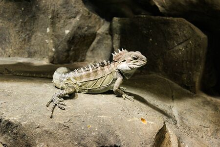 A Lizard Sits In A Cave On The Stones And Stares Intently At The Camera.
