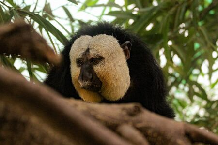 A Great Look At A White Faced Saki Monkey Behind In Trees.