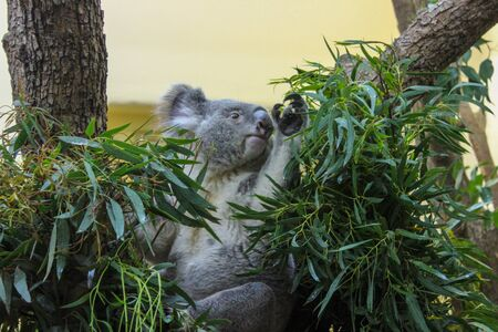 The Koala Sits Between The Branches Of The Tree And Reaches For The Leaves.