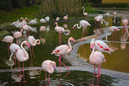 Many Pink Flamingos Stand In A Pond At Vienna Zoo.