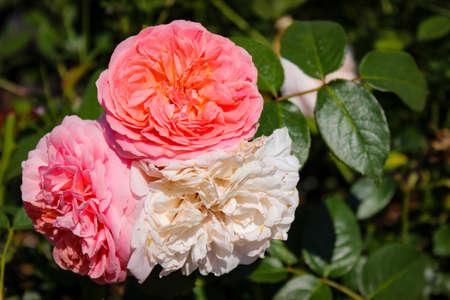Wonderful Beautiful Delicate Pink Rose Flowers