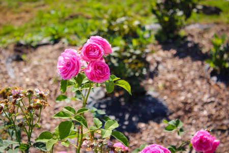 Wonderful Beautiful Pink Rose Flowers