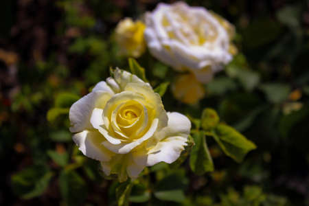 Wonderful Beautiful Beige Rose Flowers