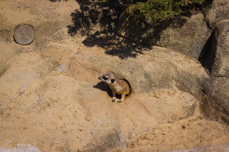 Meerkat Looks From A Hole In A Stone Landscape