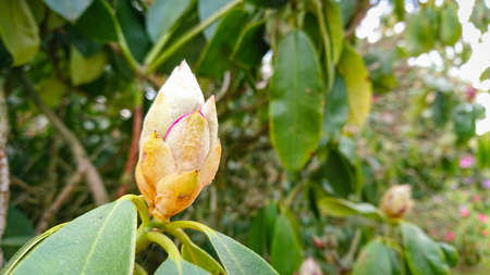 Flower And Buds Of The Magnolia Grandiflora, The Southern Magnolia Or Bull Bay, Tree Of The Family Magnoliaceae.