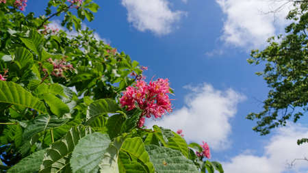 Flowering a trees red horse chestnut on a background of blue sky