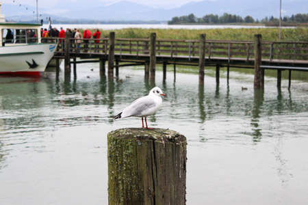 The gull on a wooden pole protruding from the water. Wooden pier in background