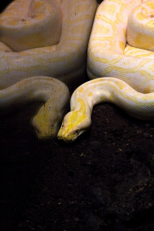 yellow python photo