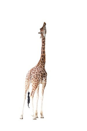 giraffe Stock Photo - 21762972