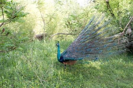 peahen: a view of a peacock