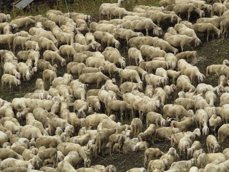 some sheep in a green grass photo