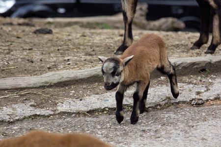 wild goat: una vista de algunos de cabra salvaje