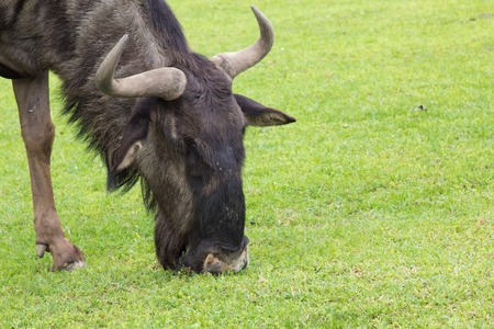 taurinus: a viw of a gnu isolated Stock Photo